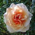 Roses | Virtual postcards